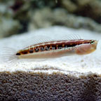 Linear Blenny