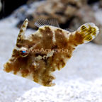 Jade Filefish