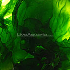 Ulva Lettuce Algae, Aquacultured