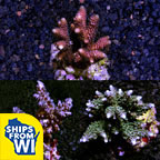 Assorted Maricultured SPS 3 Pack