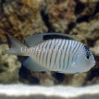 Zebra Lyretail Angelfish