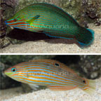 Richmond's Wrasse