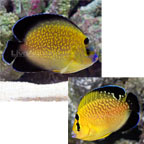Goldflake Angelfish