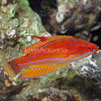 Yellowfin Flasher Wrasse
