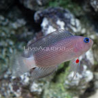 Whitetail Dottyback