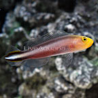 Double Striped Dottyback
