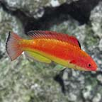 Hooded Fairy Wrasse