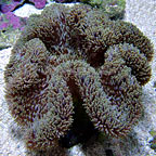 True Carpet Anemone - Tan