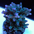Hawkin's Blue Echinata, Aquacultured, ORA®