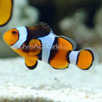 True Percula Clownfish