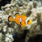 Teardrop Ocellaris Clownfish, Captive-Bred