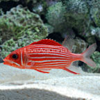 Squirrelfish, Striped
