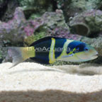 Jansen Saddle Wrasse