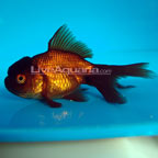 Chocolate Oranda Goldfish