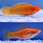 Golden Sailfin Molly