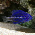 Blue Sapphire Damselfish