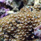 Colony Polyp, Assorted