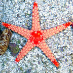 Tile Sea Star, Orange/Red