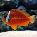 Fiji Barberi Clownfish