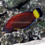 Chiseltooth Wrasse