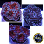 Drs Foster & Smith Certified Aussie Acan lord 3 Frag Pack - Aquacultured