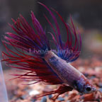 Violet Crowntail Betta