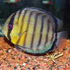 Green Discus, Red Spot
