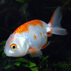 Ranchu Goldfish, Red & White
