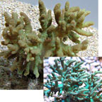 Devil's Hand Coral, Green