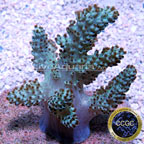 Neon Pineapple Tree Coral - Aquacultured