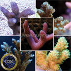 Drs. Foster & Smith Certified Assorted SPS Frag Packs - Aquacultured