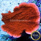 Red Candy Cap Coral - Aquacultured