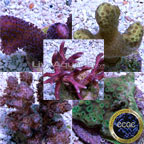 Drs. Foster & Smith Certified Beginner SPS Frag 4 Pack, Aquacultured