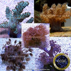 Aquacultured Coral Packs