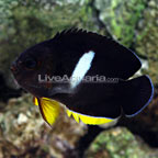 Tibicen Angelfish