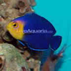 Pygmy (Cherub) Angelfish