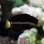 Pygmy Yellowtail Angelfish