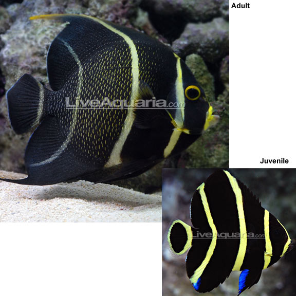 Angelfish for sale saltwater angelfish for the home aquarium for Dwarf puffer fish for sale