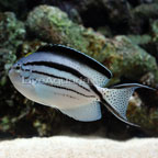 Lamarck's Angelfish