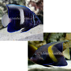 Maculosus Angelfish - Tank-Raised