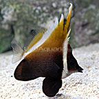 Heniochus Brown Butterflyfish
