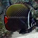 Pakistan Butterflyfish
