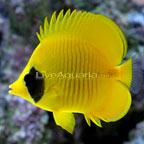 Golden Semilarvatus Butterflyfish
