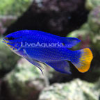 Orangetail Blue Damselfish
