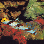 Hi Fin Red Banded Goby