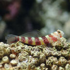 Wheeler's Shrimp Goby