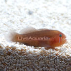 Clown Goby, Brown