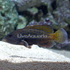 Blue Dot Grouper