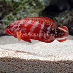 Red Flag Grouper