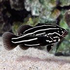 Soapfish, Golden Stripe